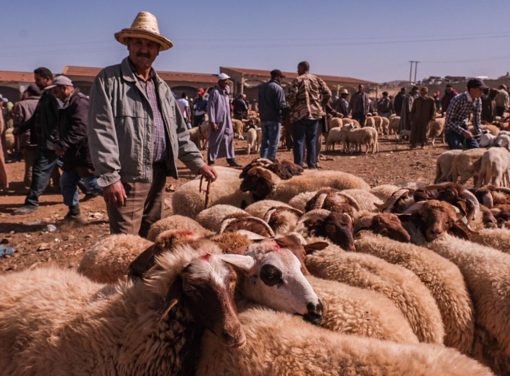 Sheep are ubiquitous during Eid Al Adha in Morocco Photo Credit Kristen Gianaris for MWN