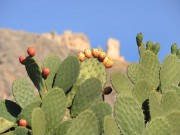 Price Rise; Pests Devastate Morocco's Prickly Pear Production