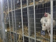 COVID-19 Cost Morocco's Poultry Sector $443 Million in 6 Months