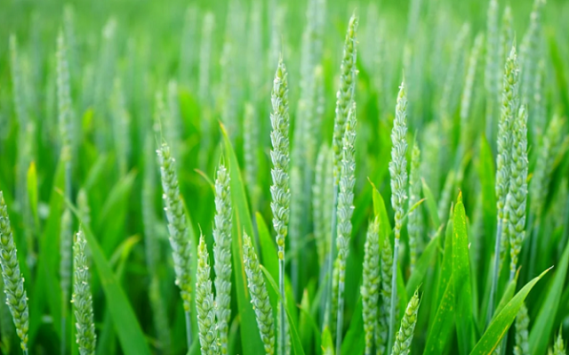 Morocco's Cereals Production Down by 39% in 2019-2020 Season