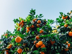 Clementine Harvest: France to Welcome 900 Moroccan Seasonal Workers
