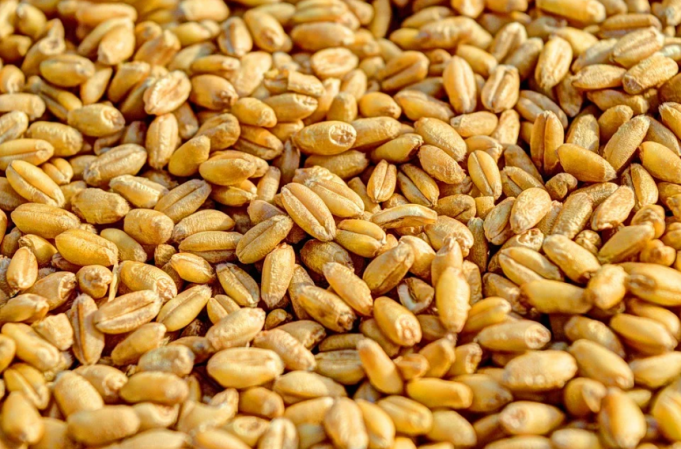 Morocco Saves 1.6 Million Quintals of Seeds for Next Agricultural Season