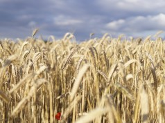 World Food Day: Morocco Imports More Wheat, Subsidies Keep Prices Stable