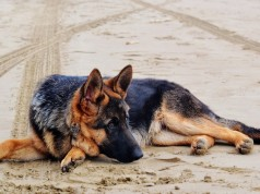 Amateurish Polisario Front Uses Dogs to Spy on Moroccan Military