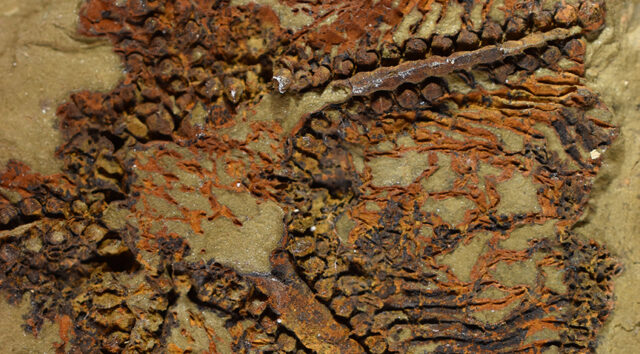 Scientists Discover World's Oldest Starfish Fossil in Morocco