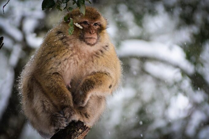 Discovery of 2.5 Million Year Old Macaque Fossil In Morocco