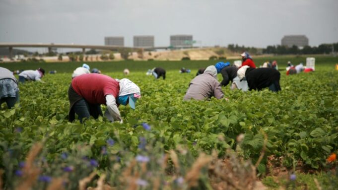 Moroccan Seasonal Farmers Participate in French Harvests