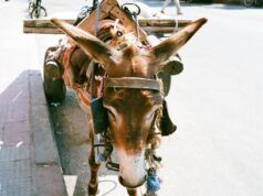 Police in Fez Arrest Man for Allegedly Selling Donkey, Mule Meat