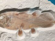 Scientists Discover 66-Million Years Old Coelacanth Fossil in Morocco