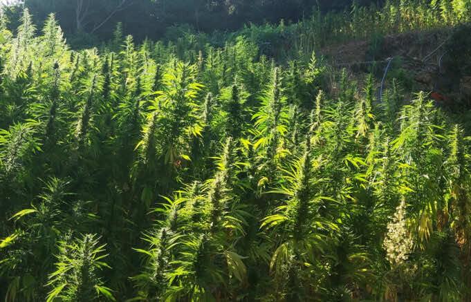 El Otmani's Options: Three Paths Towards Legal Cannabis in Morocco