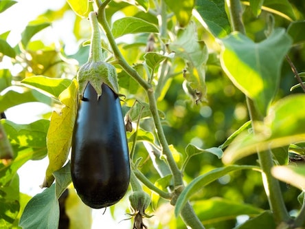 Insects such as the Mediterranean fruit fly and honeydew moth have the potential to ruin an agreement for eggplant exports from Morocco to the US.