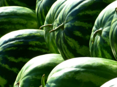 Moroccan Watermelon Exports Outperform Almeria's in the Netherlands, France