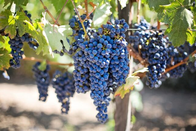 Morocco's Top Grape Exporter Plans to Boost Summer Shipments to Europe