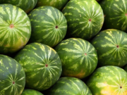 "ONSSA, Watermelon Seeds Cultivated in Morocco are Not ""Genetically Modified"""